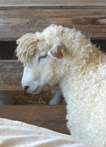 A beautiful sheep at the 2011 Maryland Sheep and Wool Festival
